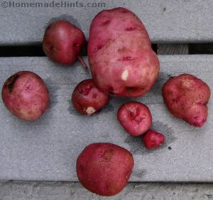container-gardening-potato-harvest