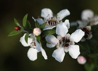 manuka honey flowers