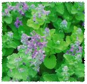 natural mosquito repellent catnip oil