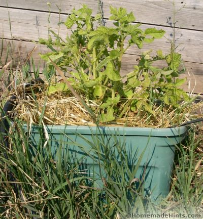 potato container gardening