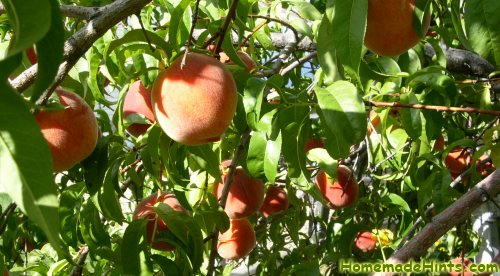 red haven semi dwarf peach tree